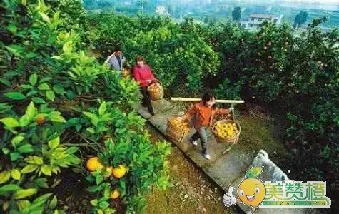 贫困户张重华打理自家的赣南脐橙果园