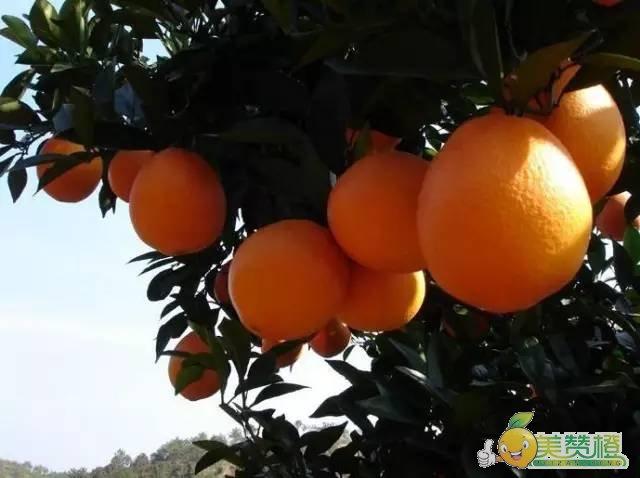 科学的方式种植赣南脐橙