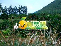 2015/11/14美赞橙脐橙园实拍
