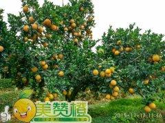 2015/11/17【多云】美赞橙脐橙园