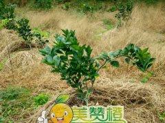 2015/11/28日美赞橙新果园种植图片实拍