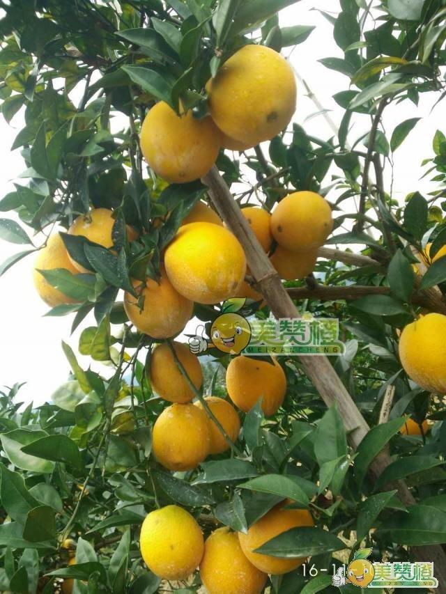 2016/11/10美赞橙-赣南脐橙上市前果园橙子还是橙黄色的