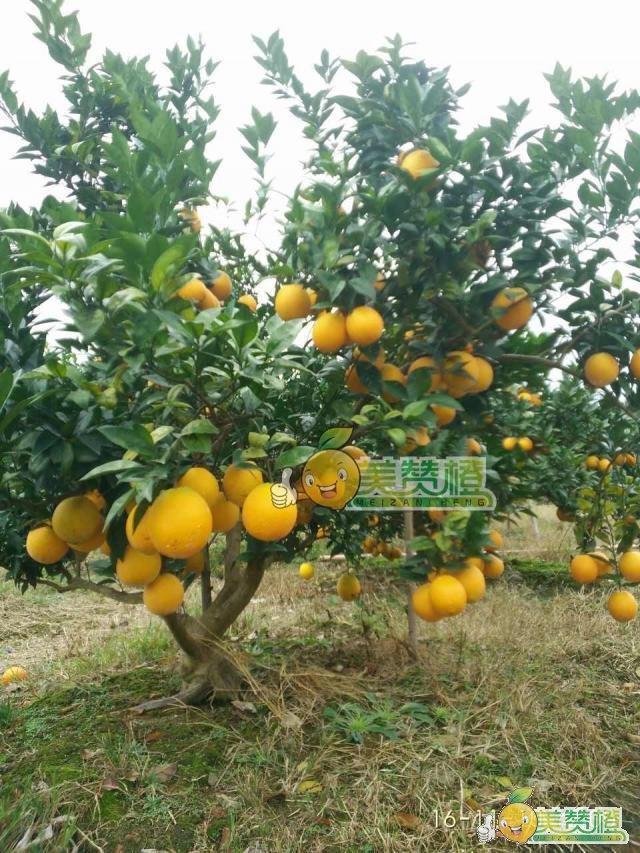 2016/11/10美赞橙-赣南脐橙上市前果园果树远景实拍