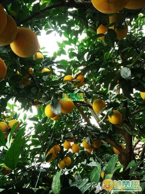 2016双十一,美赞橙-赣南脐橙园实拍