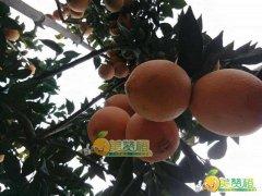 2016/11/10美赞橙-赣南脐橙上市前果园