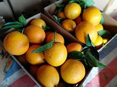 【主打】现摘赣南脐橙一件代发,5斤、10,20斤顺丰包邮