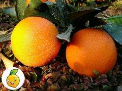 赣南脐橙多少钱一斤?赣南脐橙价格行情预测!