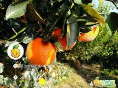中国哪里的脐橙最好?中国脐橙之乡是哪?