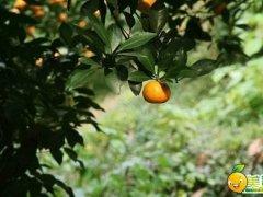 橙子什么时候成熟?橙子什么季节成熟?