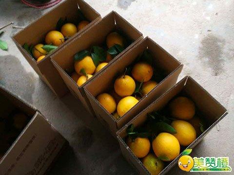 直径80-85毫米的赣南脐橙