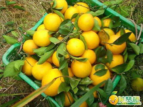 赣南脐橙纽荷尔脐橙品种