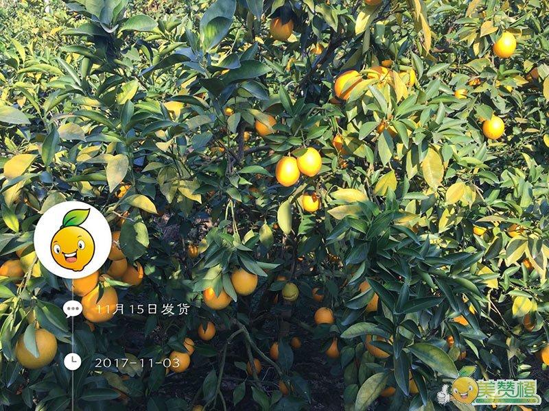 11月初的赣南脐橙,初步成熟