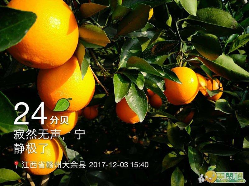 12月初的赣南脐橙,几乎完全成熟