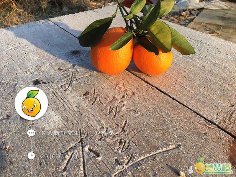 1月中旬的赣南脐橙,已经彻底成熟