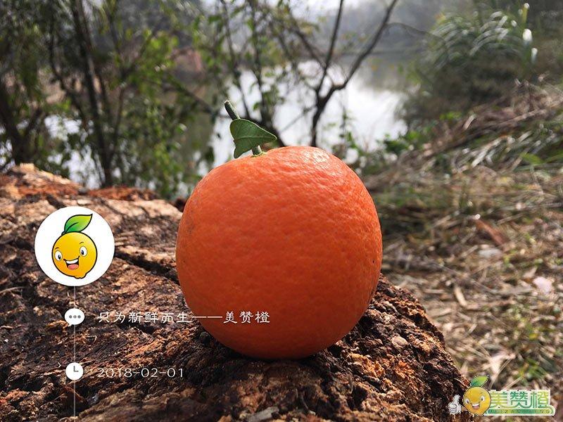 2月初的赣南脐橙,已经过了成熟期