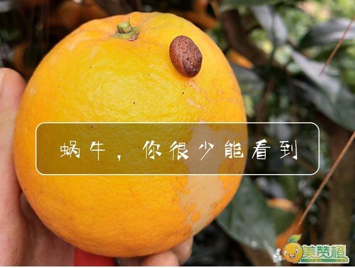 但是在脐橙果园,你很少能见到蜗牛
