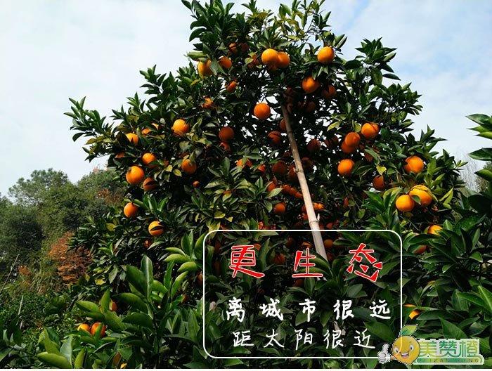 我们的脐橙种植环境距城市很远,离太阳很近,更生态