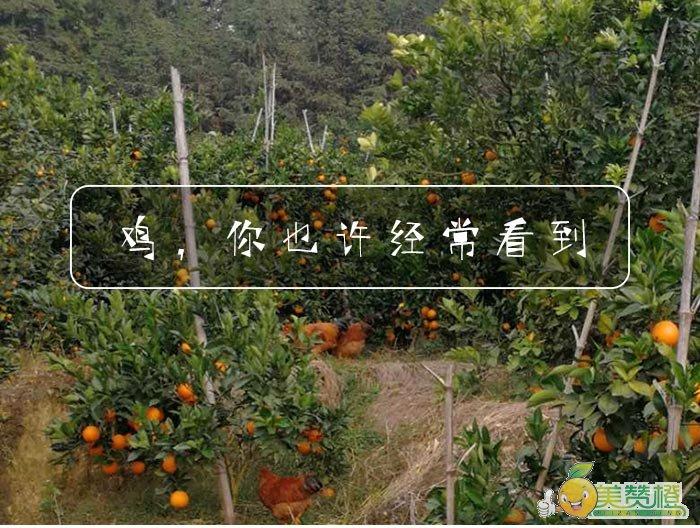 在脐橙果园,你也许经常看得到鸡