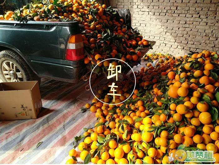 运回的脐橙准备卸车