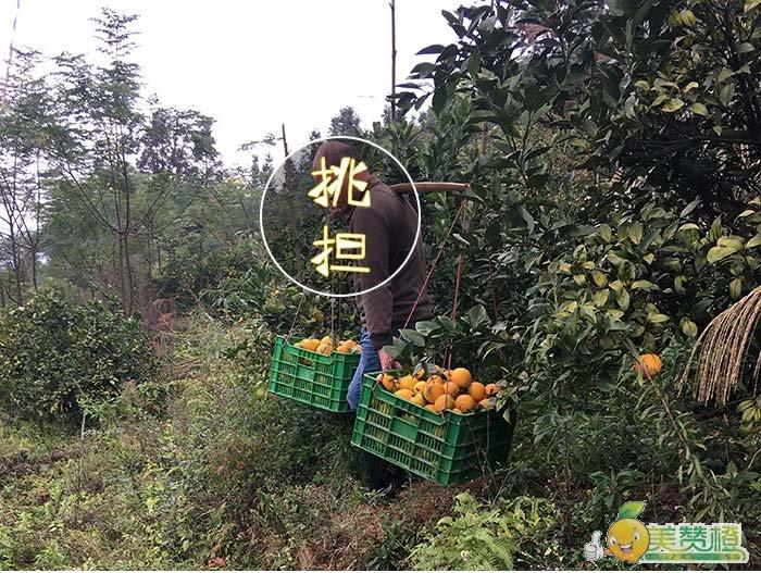 采摘下来的脐橙从果园挑担上车