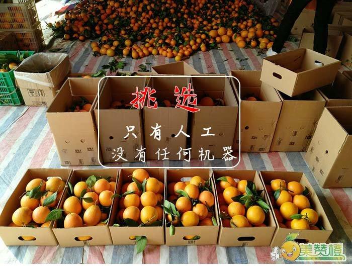 挑选橙子过程只有人工,没有任何机器