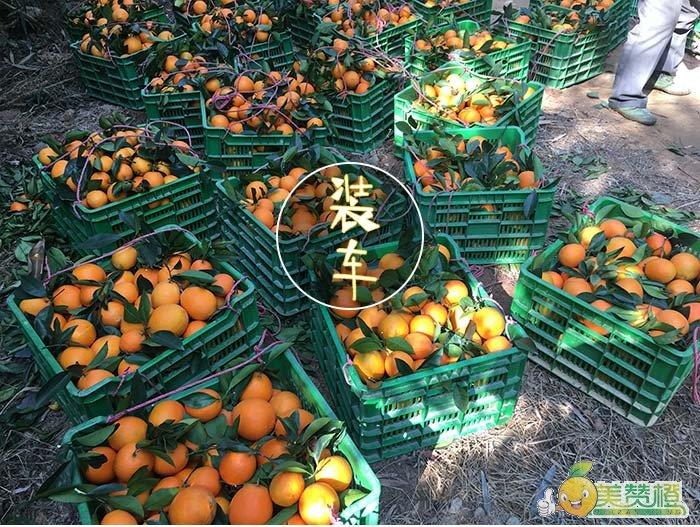 一担担的橙子等待装车