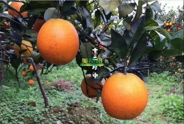 12月中的赣南脐橙
