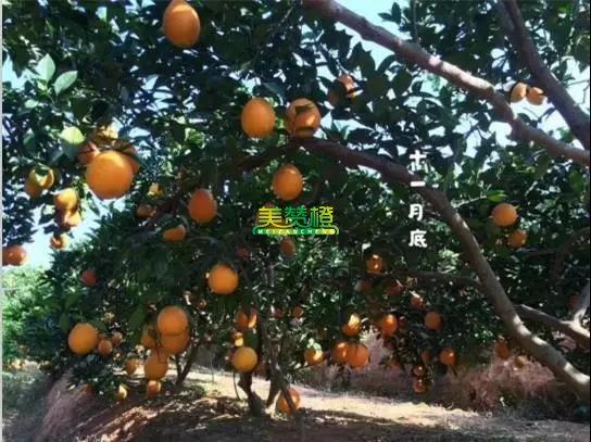 11月底的赣南脐橙
