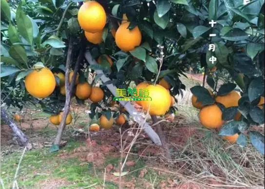 11月中的赣南脐橙